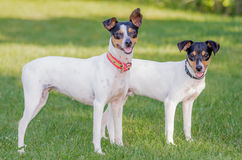 Spanish two dogs of breed Stock Image