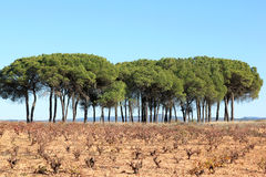 Spanish vineyard in autumn, Manchuela wine region Royalty Free Stock Photography