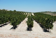 Spanish vineyard, Jerez de la Frontera. Royalty Free Stock Photo