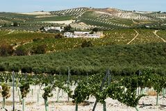 Spanish vineyard, Montilla. Olive groves with vineyard in foreground, Montilla, Cordoba Province, Andalusia, Spain, Western Europe Stock Image