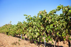 Spanish vineyard row Stock Photos