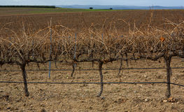 Spanish Vineyard at winter Royalty Free Stock Photo