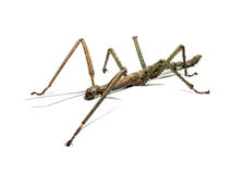 Spanish Walking Stick insect species Leptynia hispanica Royalty Free Stock Images
