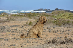 Spanish water dog. On the beach Stock Photography