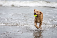 Spanish water dog with ball in ocean Stock Image