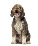 Spanish Water Dog barking (8 years old) Stock Image