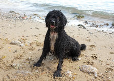Spanish Water Dog on the beach Stock Images
