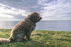 A Spanish Water Dog on the beach royalty free stock photos