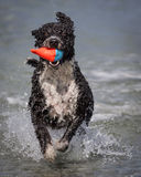 Spanish water dog fetching Royalty Free Stock Photography