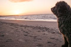 A Spanish Water Dog looking at a sunset on the beach royalty free stock photography