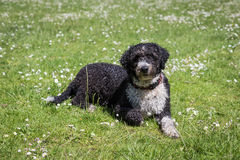 Spanish Water Dog stock photography