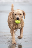 Spanish Water Dog Royalty Free Stock Photography