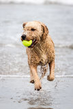 Spanish Water Dog Stock Photography