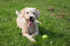 Spanish Water Dog. In a Natural Setting Stock Photo