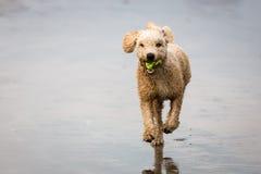 Spanish Water Dog Royalty Free Stock Photos