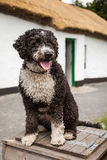 Spanish Water Dog Stock Image