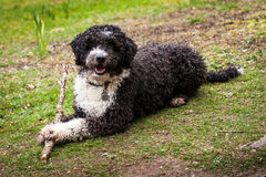 Spanish Water Dog Stock Photo