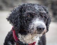 Spanish Water Dog. A Spanish Water Dog portrait Royalty Free Stock Image