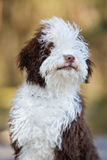Spanish water dog puppy posing outdoors Royalty Free Stock Photography