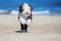 Spanish water dog puppy running on a beach Royalty Free Stock Photography