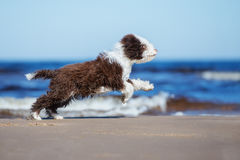 Spanish water dog puppy running on a beach Stock Images
