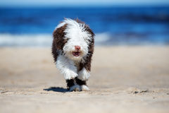 Spanish water dog puppy running on a beach Royalty Free Stock Images