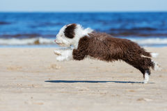 Spanish water dog puppy running on a beach Stock Photos