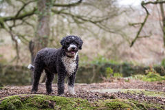 Spanish Water Dog. A Spanish water dog in a rural setting Stock Images