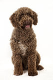Spanish water dog. Studio shot of one year old spanish water dog Stock Photography
