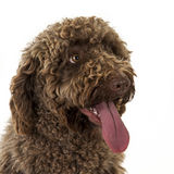 Spanish water dog Royalty Free Stock Image