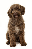 Spanish water dog. Studio shot of one year old spanish water dog Royalty Free Stock Photos