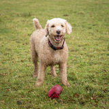 Spanish water dog with toy. Spanish Water dog standing in backyard with toy Royalty Free Stock Images