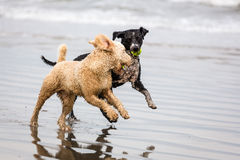 Spanish Water dogs at beach Royalty Free Stock Photo
