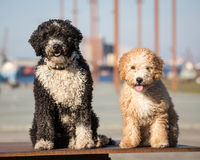 Spanish Water Dogs Royalty Free Stock Photography