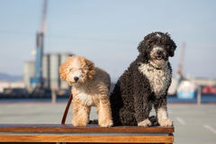 Spanish Water Dogs Stock Photos