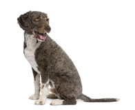 Spanish water spaniel dog, 3 years old, sitting. Stock Photography