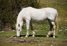Spanish White Mustang Stock Photo