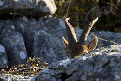 Spanish wild goat Royalty Free Stock Photography