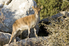 Spanish wild goat Royalty Free Stock Images