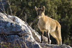 Spanish wild goat Stock Photo