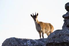 Spanish wild goat Royalty Free Stock Images