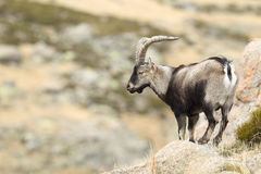 Spanish Wild Goat. Mating season Stock Photo