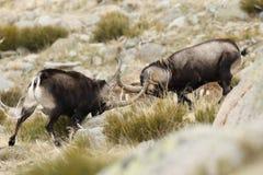 Spanish Wild Goat. Mating season Stock Photography