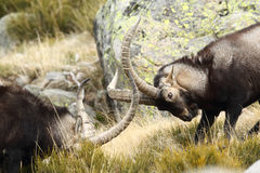 Spanish Wild Goat. Mating season Royalty Free Stock Photography
