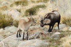 Spanish Wild Goat. Mating season Stock Image