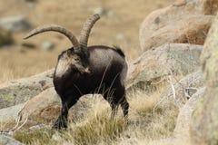 Spanish Wild Goat. Mating season Royalty Free Stock Images