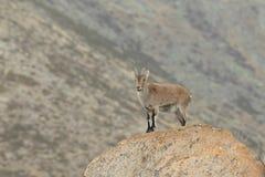 Spanish Wild Goat. Mating season Stock Photos