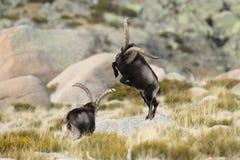 Spanish Wild Goat Stock Image
