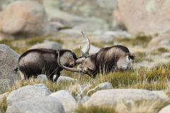 Spanish Wild Goat Royalty Free Stock Photo