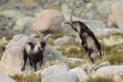 Spanish Wild Goat Stock Photos